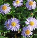 Kissenaster Lady in Blue - Aster dumosus