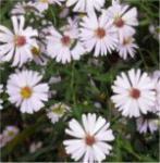 Myrtenaster Schneetanne - Aster ericoides