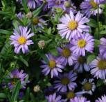 Berg Aster Floras Delight - Aster frikartii