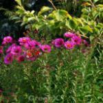 Rauhblattaster Crimson Brocade - Aster novae angliae