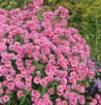 Rauhblattaster Rosa Perle - Aster novae angliae