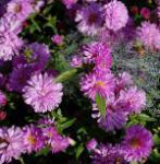 Rauhblattaster Rosenpompon - Aster novae angliae
