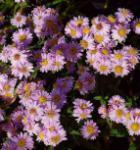 Rauhblattaster Strawberry and Cream - Aster novae angliae