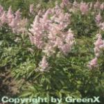 Prachtspiere Europa - Astilbe japonica