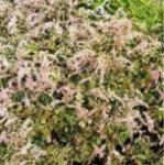 Prachtspiere Bronce Elegans - Astilbe simplicifolia
