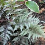 Regenbogenfarn Metallicum - Athyrium niponicum