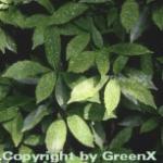 Japanische Aucube Crotonifolia 40-60cm - Aucuba japonica