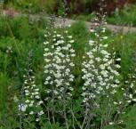 Weiße Färberhülse - Baptisia leucantha