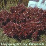 Kleine Blutbeberitze 30-40cm - Berberis thunbergii Atropurpurea Nana