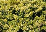 Zwerg Goldbeberitze 30-40cm - Berberis thunbergii Aurea Nana
