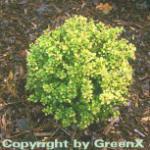 Beberitze Sunsation 25-30cm - Berberis thunbergii