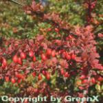 Grüne Heckenbeberitze 60-80cm - Berberis thunbergii