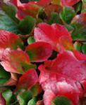Bergenie Eroica - großer Topf - Bergenia cordifolia