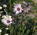 Südafrikanische Purpur Distel - Berkheya purpurea