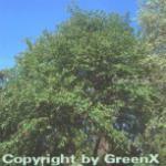 Zuckerbirke 125-150cm - Betula lenta