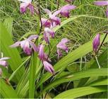 China Freiland Orchidee - Bletilla striata