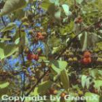 Papiermaulbeerbaum 125-150cm - Broussonetia papyrifera