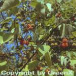 Papiermaulbeerbaum 80-100cm - Broussonetia papyrifera
