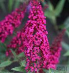 Schmetterlingsstrauch Buzz Velvet 30-40cm - Buddleja