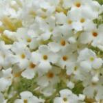 Sommerflieder Marbled White 40-60cm - Buddleja