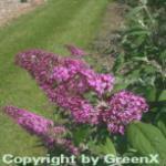Sommerflieder Pink Delight 125-150cm - Buddleja