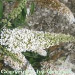 Sommerflieder White Profusion 125-150cm - Buddleja