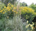 Reitgras Overdam - großer Topf - Calamagrostis acutiflora