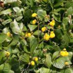 Zwerg Pantoffelblume Goldcap - Calceolaria biflora