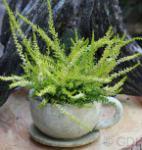 10x Besenheide David Hagenaars - Calluna vulgaris