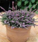 10x Besenheide Dirry - Calluna vulgaris