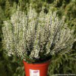 10x Knospenheide Gardengirls Alicia - Calluna vulgaris