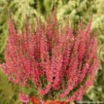 10x Knospenheide Gardengirls Athene - Calluna vulgaris