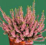 10x Knospenheide Gardengirls Gina - Calluna vulgaris