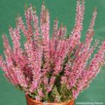 10x Knospenheide Gardengirls Luisa - Calluna vulgaris