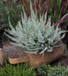 10x Besenheide Velvet Fascination - Calluna vulgaris
