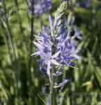 Präriekerze Caerulea - Camassia leichtlinii