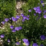 Karpaten Glockenblume Karl Foerster - Campanula carpatica
