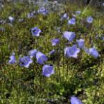 Zwergglockenblume Bavaria Blue - Campanula cochleariifolia