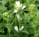 Knäulglockenblume Alba - Campanula glomerata