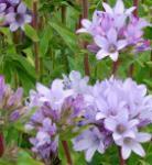 Knäulglockenblume Caroline - Campanula glomerata