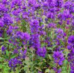 Knäulglockenblume Superba - Campanula glomerata