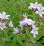 Doldenglockenblume Loddon Anna - Campanula lactiflora