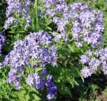 Doldenglockenblume Prichard - Campanula lactiflora