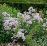 Doldenglockenblume - Campanula lactiflora
