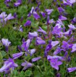 Teppich Glockenblume Birch - Campanula portenschlagiana