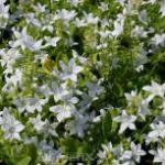 Glockenblume Silberregen - Campanula poscharskyana