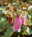 Punktierte Glockenblume Rubrifolia - Campanula punctata