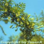 Hoher Erbsenstrauch 60-80cm - Caragana arborescens