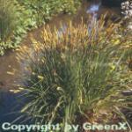 Steife Segge - Carex elata