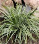 Oshima Segge Everest - Carex oshimensis